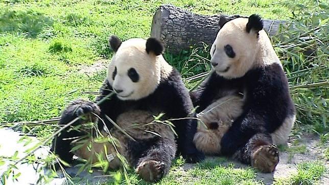 pandas-zoo-madrid3--644x362