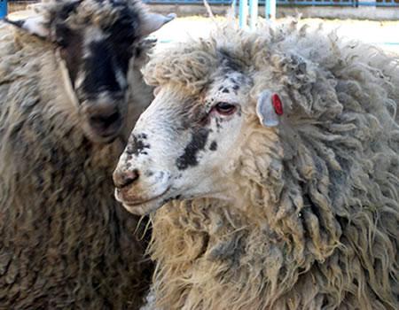 oveja churra colmenareña