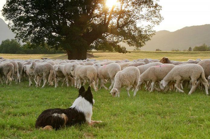 pastoreo perro OK